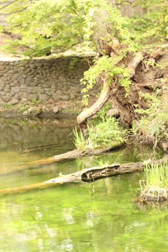 池の中の倒木