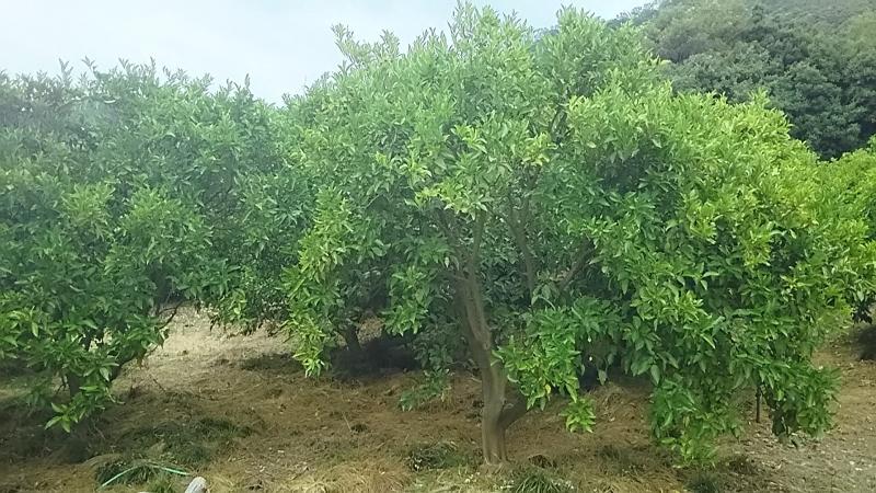レモンの木の育て方 栽培方法