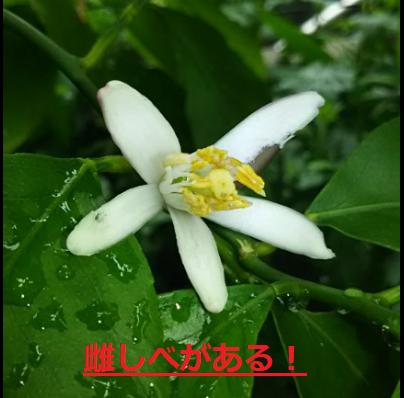 レモンの育て方 栽培方法