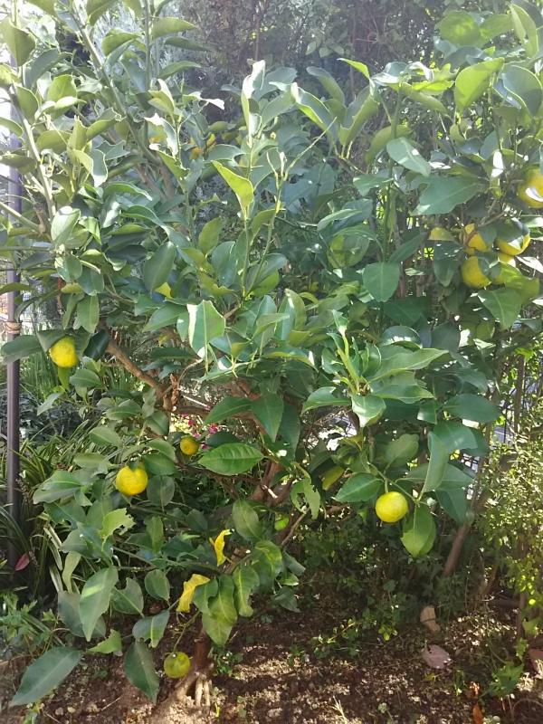 レモンの葉が黄色くなったので、苦土石灰を撒いてみた ...