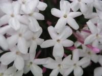 五弁の白い花