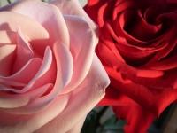 2013年明けの薔薇