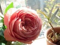 2013年明けの薔薇2