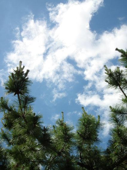 空と松の樹大