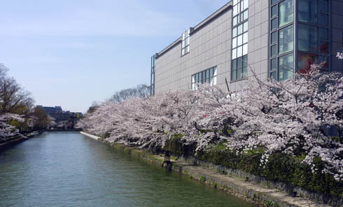 近代美術館の桜