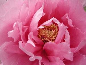 グラデーションのピンクがとても綺麗な牡丹の花。まいとしたのしみ