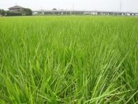 伸び盛りの稲を渡る風
