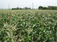 トウモロコシ畑の雄花