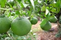 従兄弟の家の庭に植えられているデコポンが青々とした実を付けています。