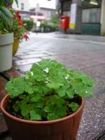 雨の滴が輝いているカタバミの葉