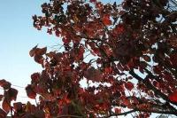 さつき通りの街路樹、アメリカハナミズキも今年は綺麗に紅葉しています。