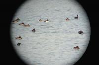 彩湖で羽を休めているキンクロハジロ