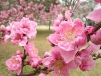 ピンクの花が綺麗な、矢口桃と言う桃の花です。
