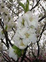 白い八重�の「寒白」と言う桃の花で、曇り空の為フラッシュを焚いています。