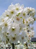 農家の方が受粉作業をしていた、白い花が満開の梨畑。