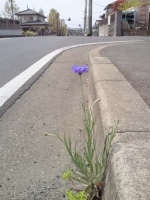 道路縁石のスキマから花を咲かせている。