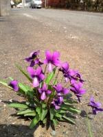 道路に僅かなスキマでもあるのかスミレが見事な株となって花を咲かせています。