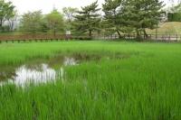 池の中央にはコガモが鳴いています。