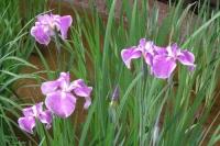 雨に濡れながら咲く花菖蒲は綺麗です。