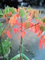 鉢植えの綺麗な紅葉。
