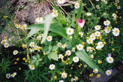 こつぶの花