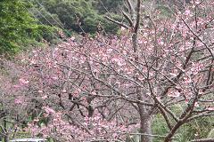 八重丘の桜