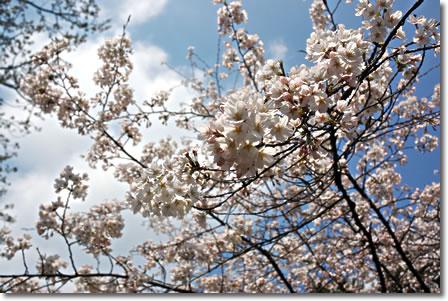 桜ぱしゃり