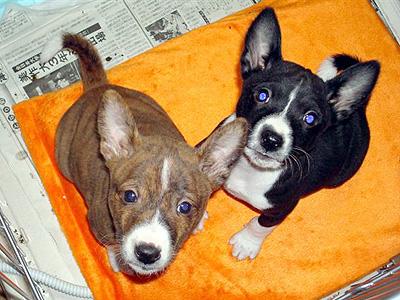次世代犬と兄弟犬アンリ(生後50日目)
