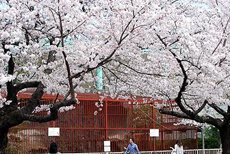 20110407猛獣舎前の桜