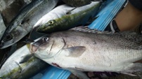 2013-06-16 大漁.JPG