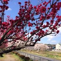 2014 桜3.JPG