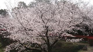熊本城のサクラ