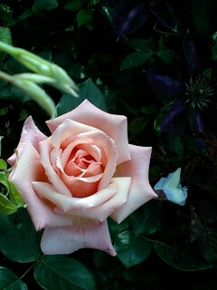 ぱっと開いたバラ