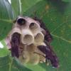 アシナガバチの子育て