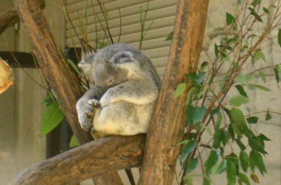 居眠りコアラ