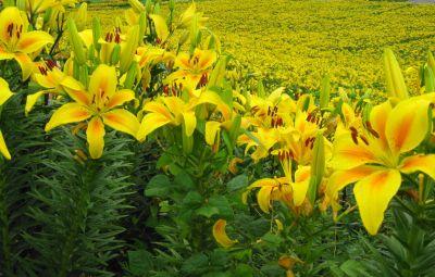 黄色いユリがきれい