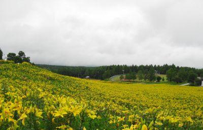 黄色いユリの園