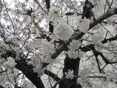 気がつけば桜咲く