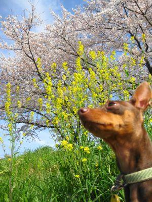 桜と菜の花のコラボに感無量