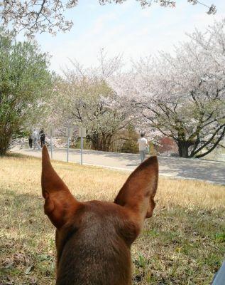 桜をながめるるん
