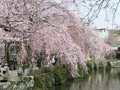 三嶋大社桜1
