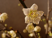 花瓶の中で開花した梅