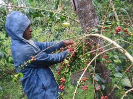 エリンバリコーヒーの木