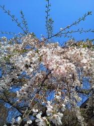 氷室神社の枝垂桜その2