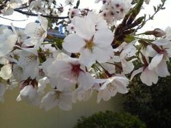 つよし桜その2