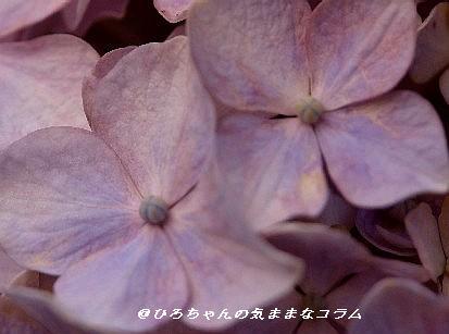 紫陽花クローズアップ