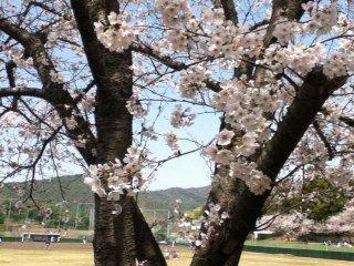 4/10広島・西条の桜