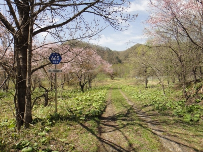 桜と道道標識