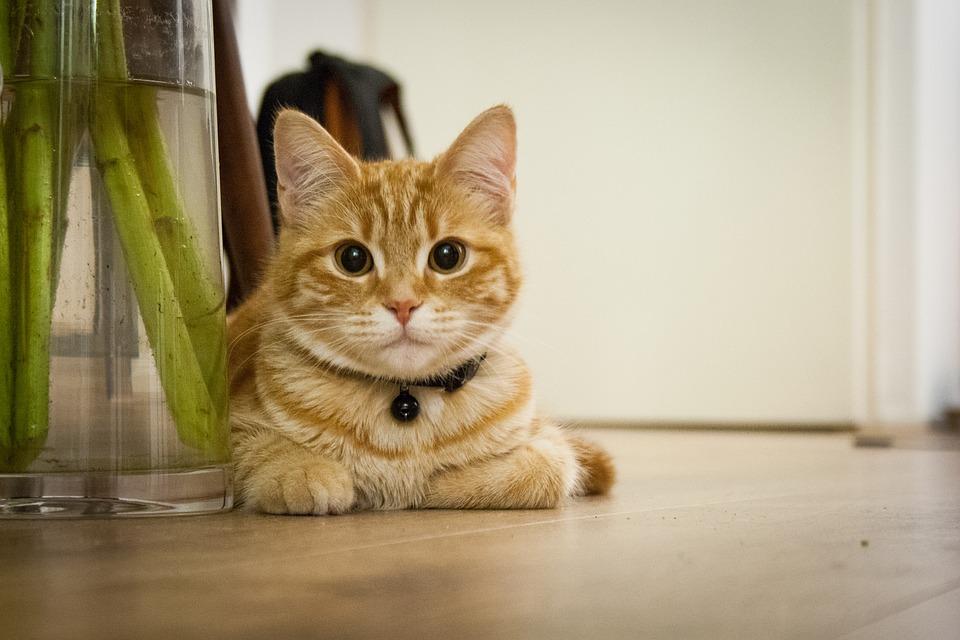 猫 キエルキン