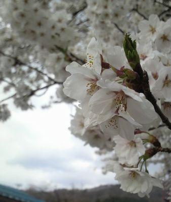 2009稲庭小学校 桜